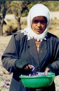 cueillette de safran (crocus)
